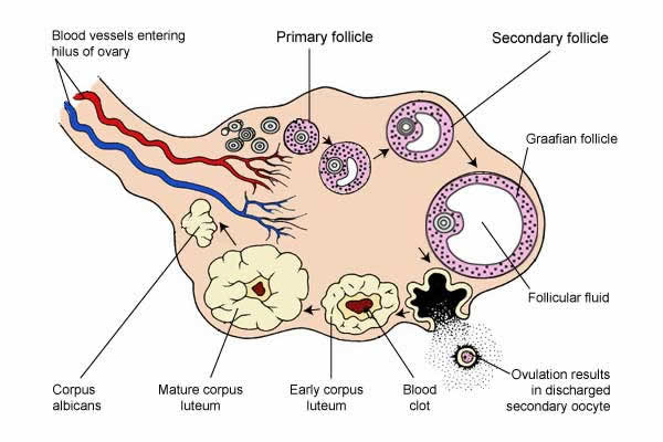 follicle and corpus luteum development